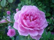 harlow carr david austin roses